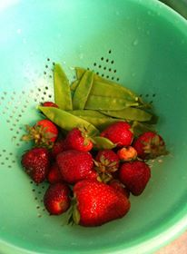 The early harvest of sugar snap peas and strawberries.