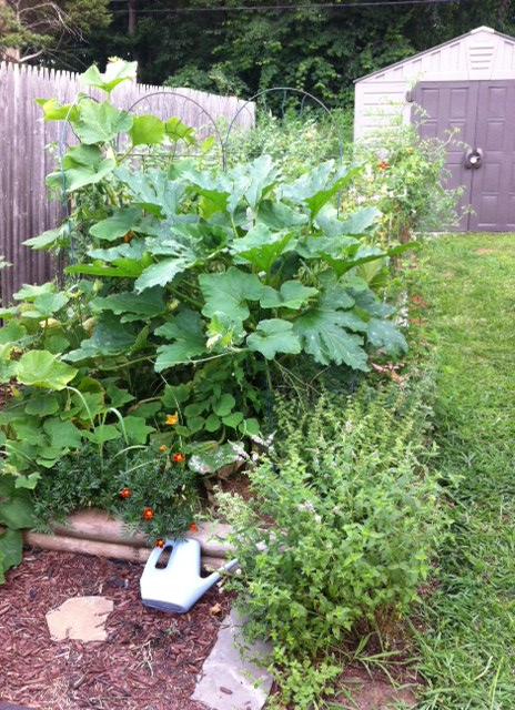 """That squash plant could easily swallow you whole. It's already managed to """"disappear"""" a tomato."""