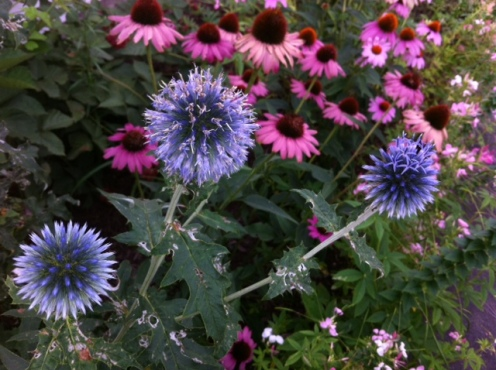 The globe thistle isn't as impressive as I'd hoped. I'll move it out to The Pale in the fall.