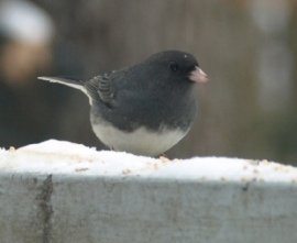 dark_eyed_junco