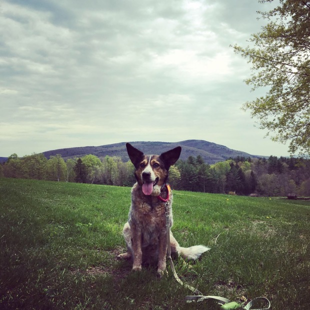 Maybelle on the SIT campus, with the Vermont mountains behind her.